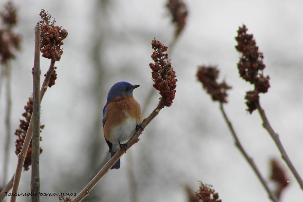 eastern bluebird018