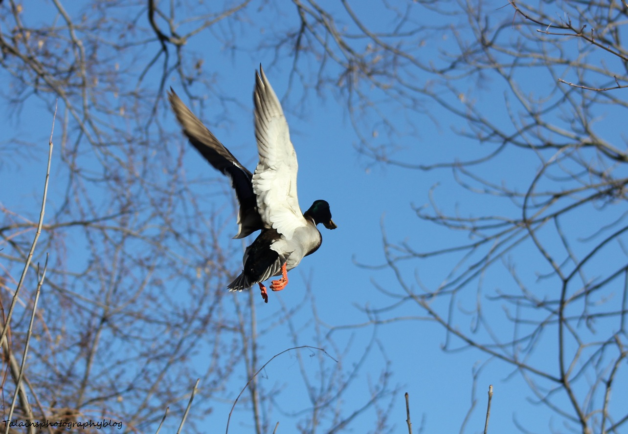 Mallard Ducks 016