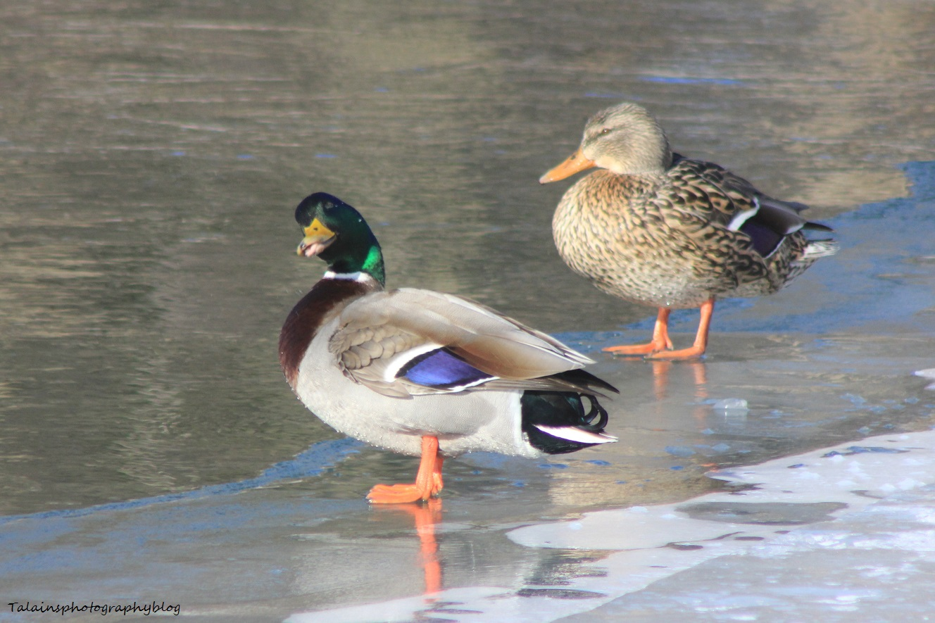 Mallard Ducks 018