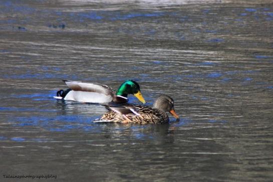 Mallard Ducks 020
