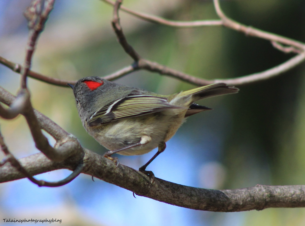 Ruby-crowned Kinglet 036