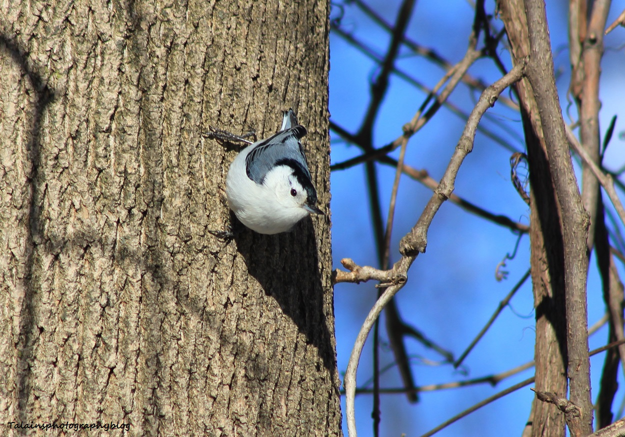 White-breasted Nuthatch 006