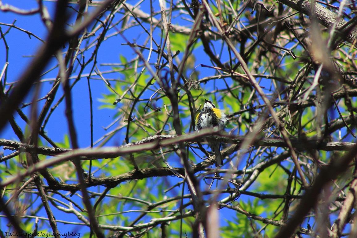 yellow-rumped warbler 011
