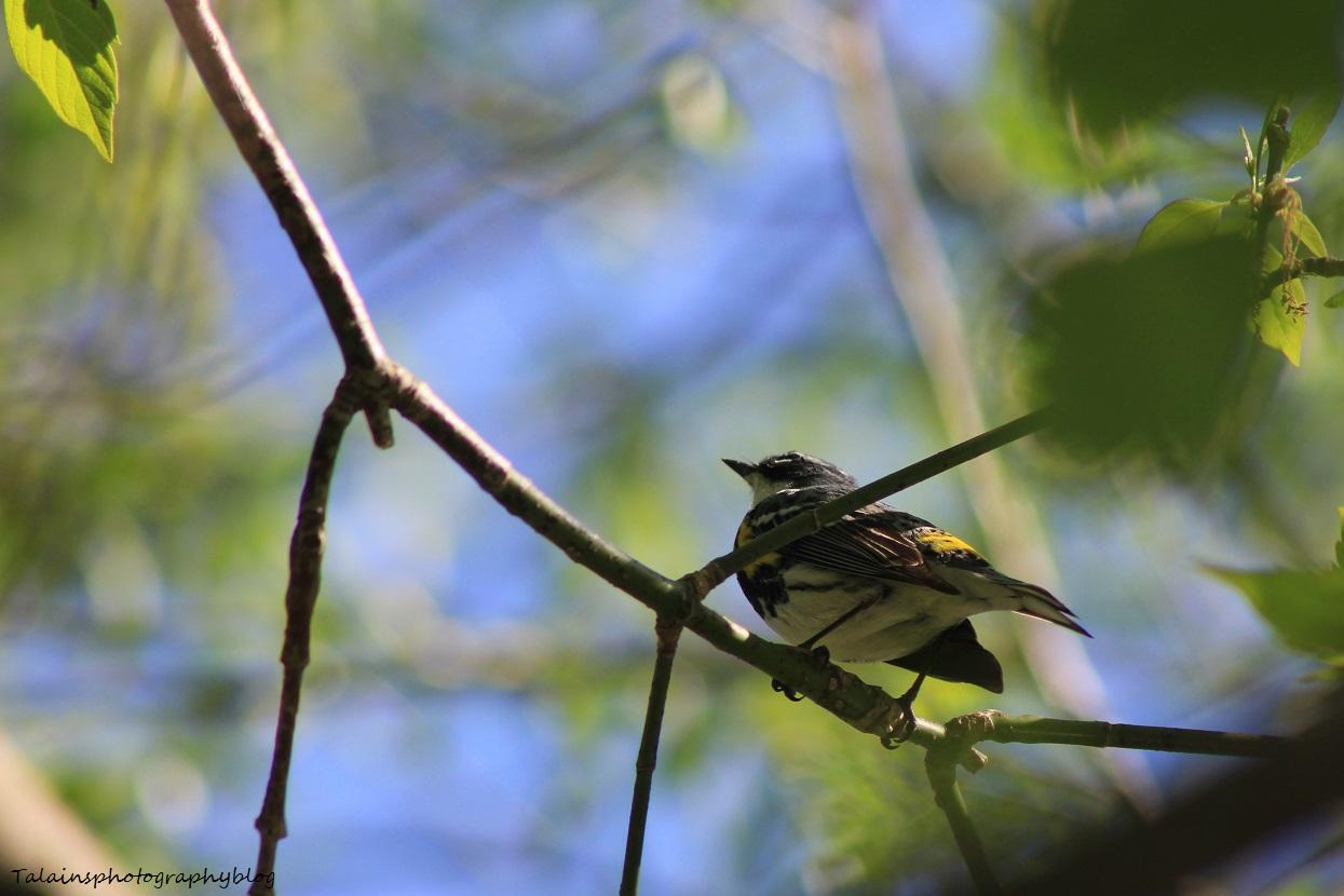 yellow-rumped warbler 020
