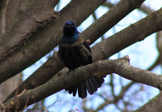 Boat-tailed Grackle 014