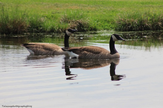 canada Geese 055