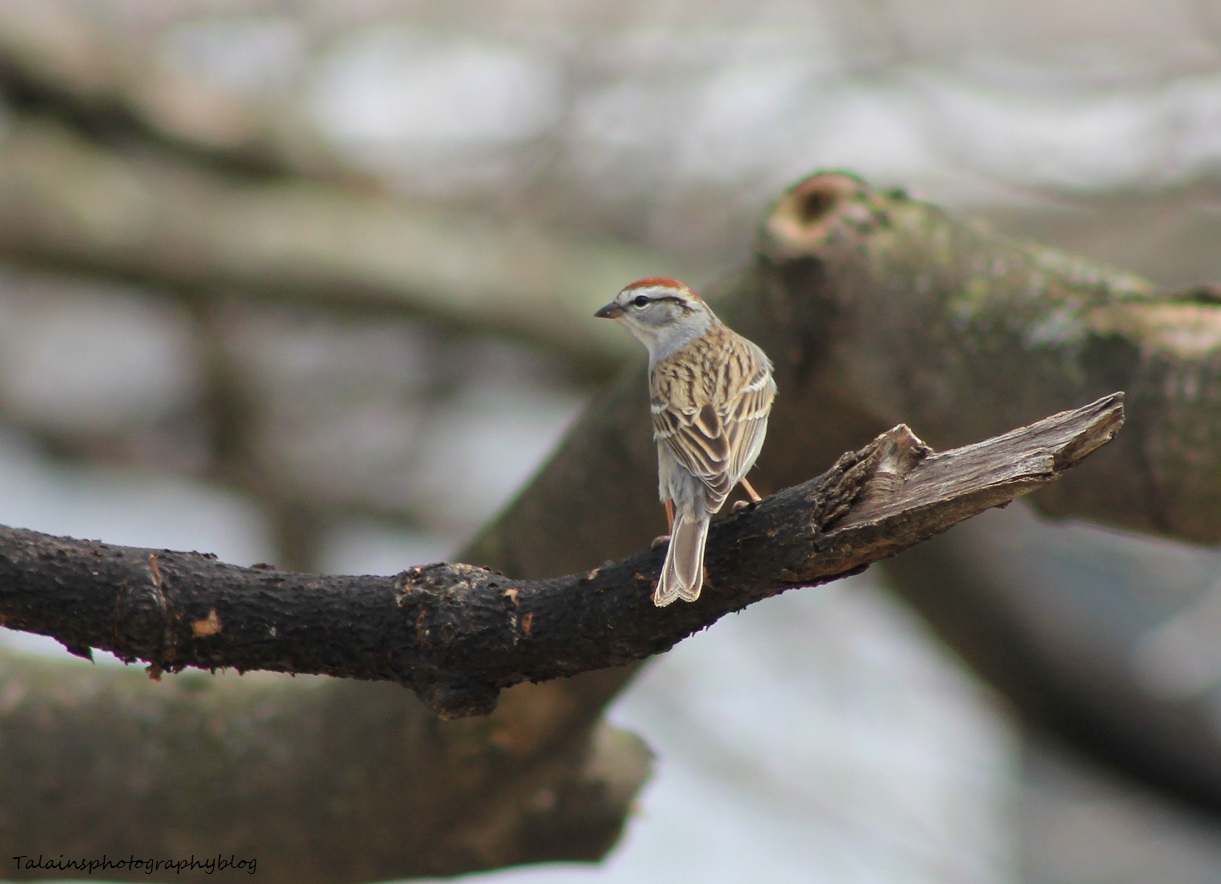 Chiping Sparrow 006