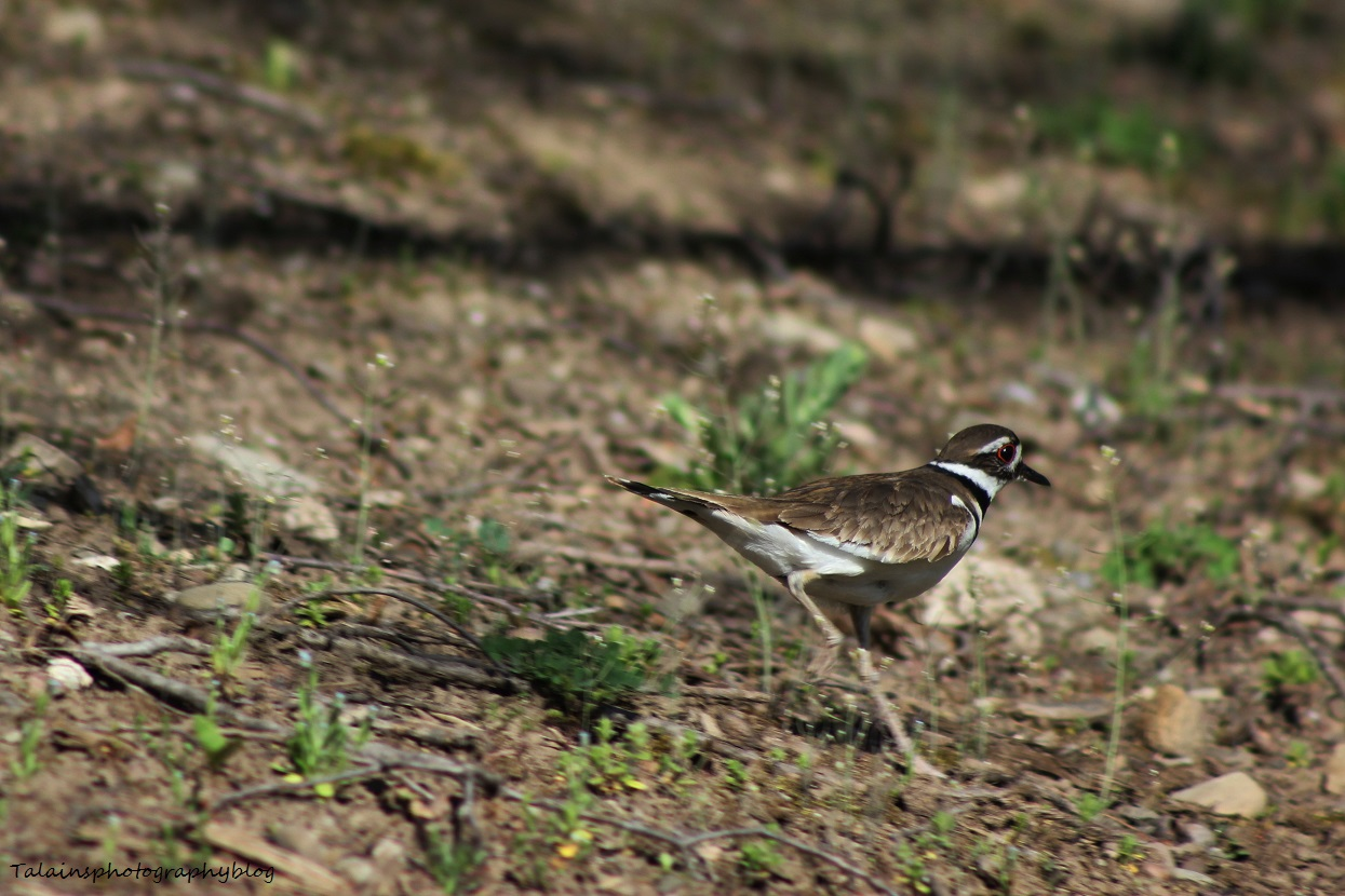 killdeer005