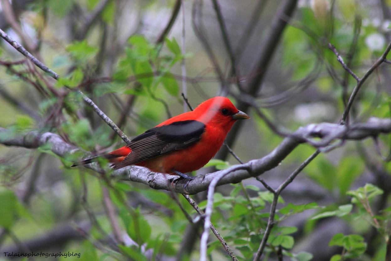 Scarlet Tanager 018