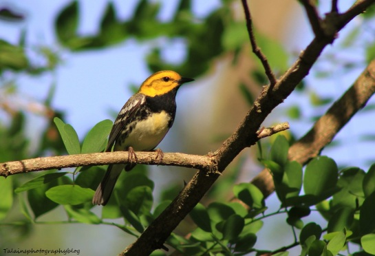 Black-throated Green Warbler 006