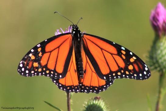 butterfly 121