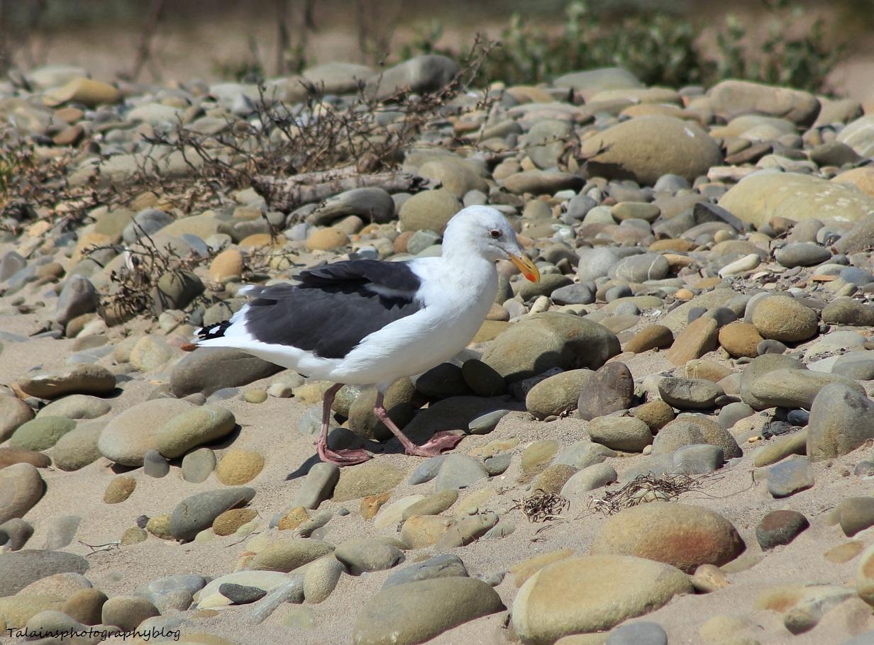 California Gull 002