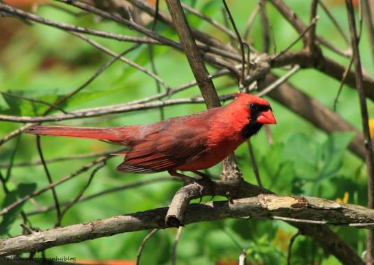 Cardinal 033