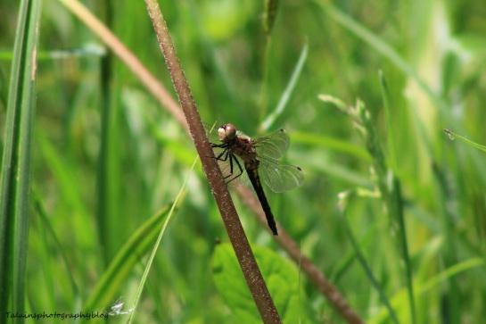 dragonfly 001