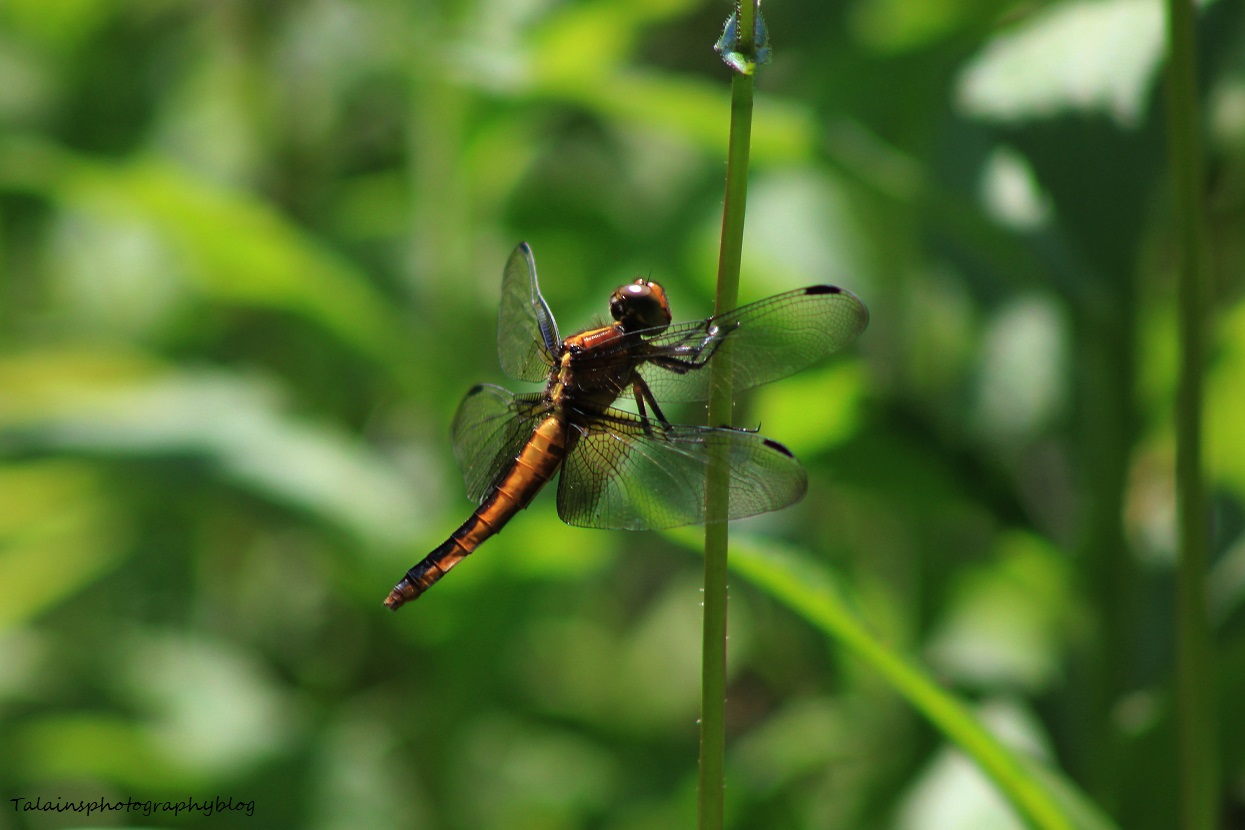 dragonfly 004