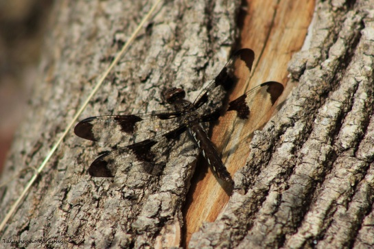 dragonfly 018