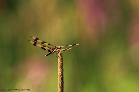 dragonfly 024