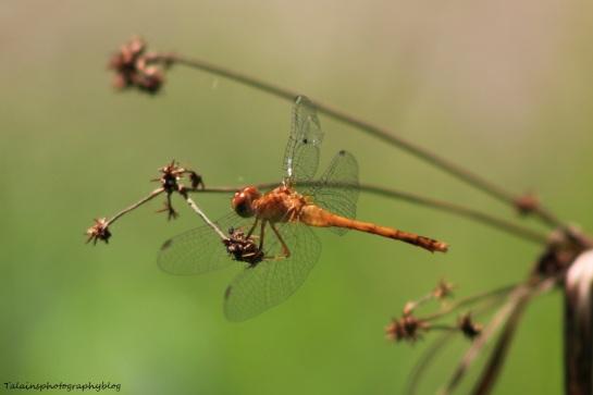 dragonfly 028