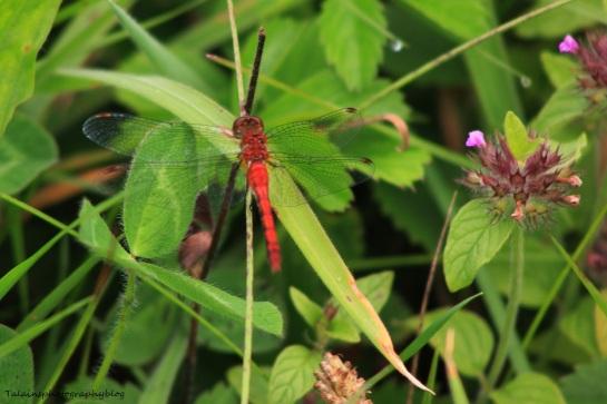 dragonfly 27
