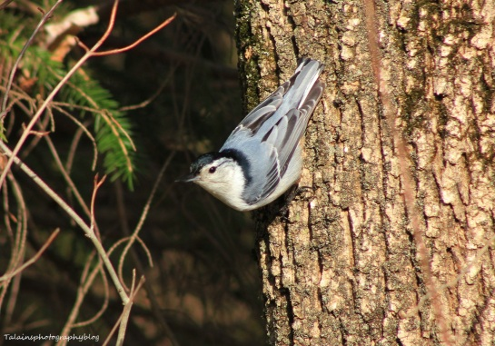 White-breasted Nuthatch 021