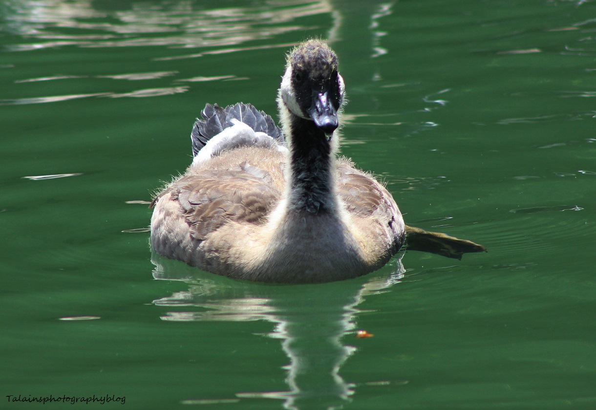 canada Geese 073