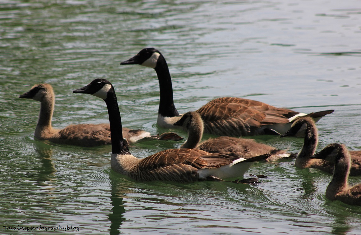 canada Geese 077