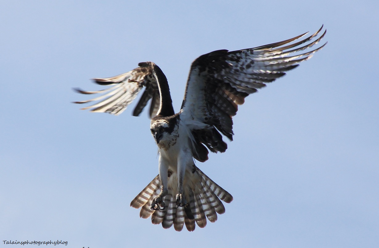 Osprey 022