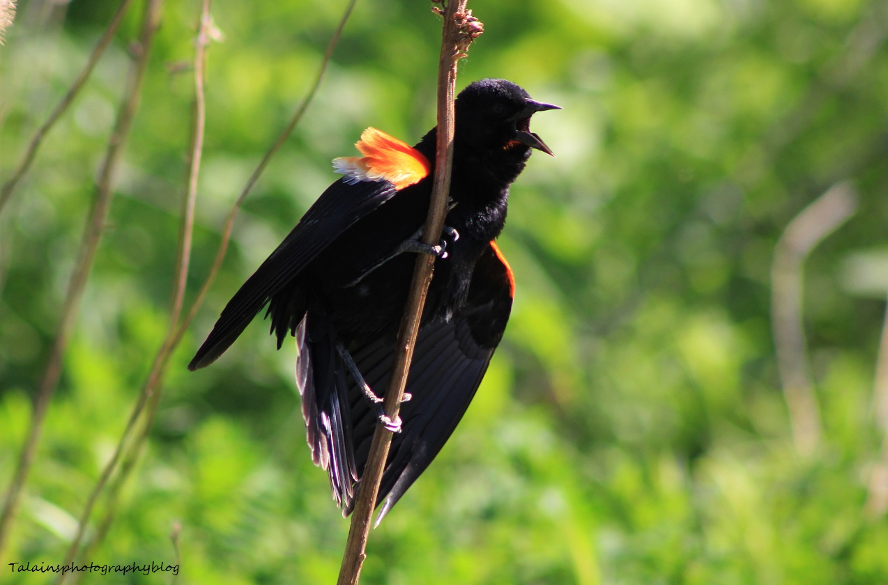 Red-winged blackbird 050