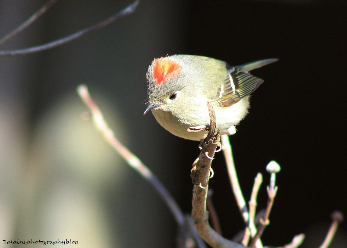 Ruby-crowned Kinglet 017