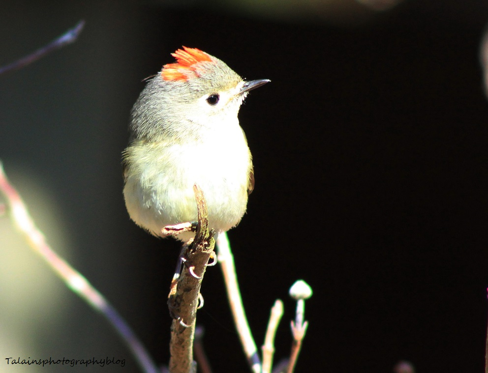 Ruby-crowned Kinglet 018