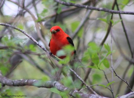 Scarlet Tanager 015