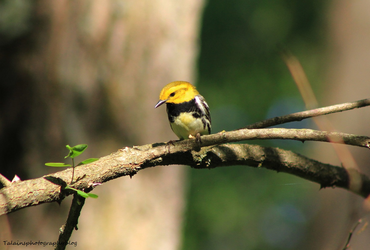 Black-throated Green Warbler 010