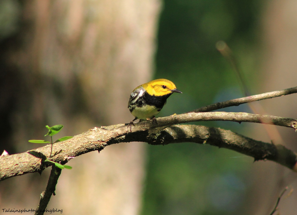 Black-throated Green Warbler 011
