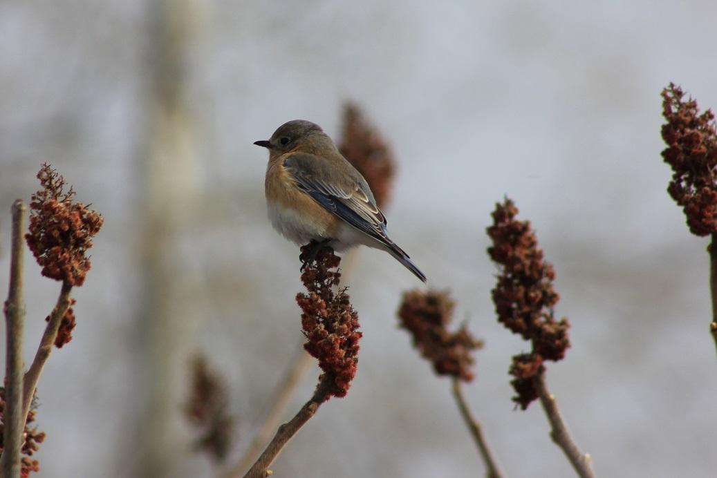eastern bluebird026