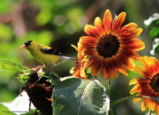 Goldfinch 019