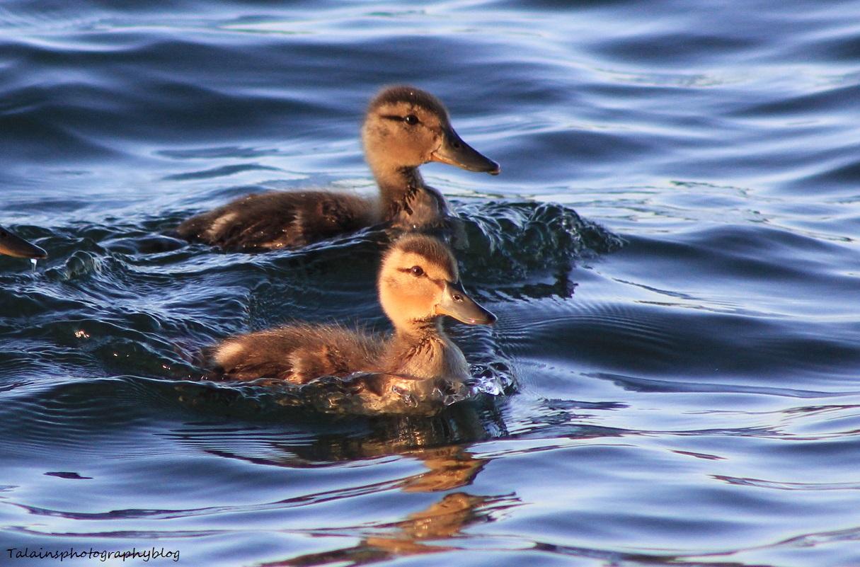Mallard Ducks 031