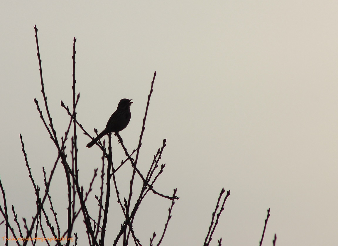 Song Sparrow 001