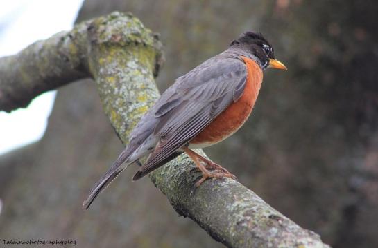 American Robin 028