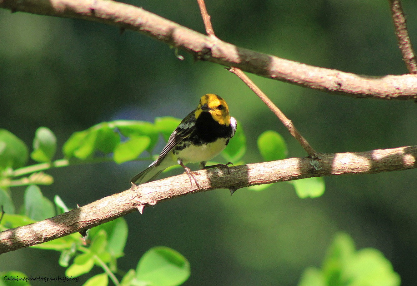 Black-throated Green Warbler 014