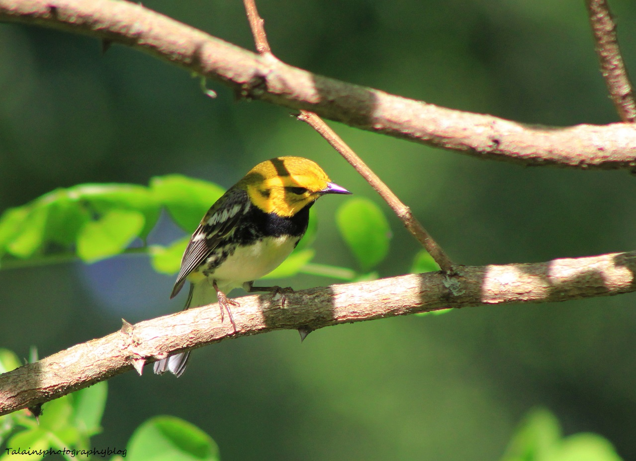 Black-throated Green Warbler 015