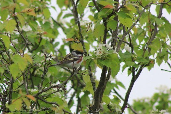 chestnut-sided warbler 030