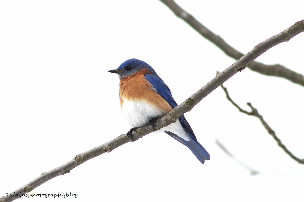eastern bluebird040