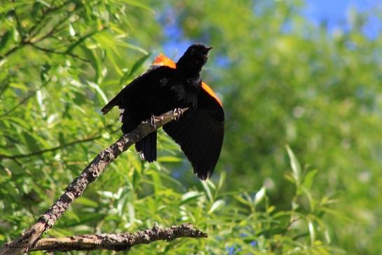 Red-winged blackbird 036