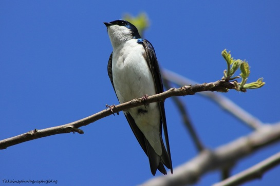tree swallow 007