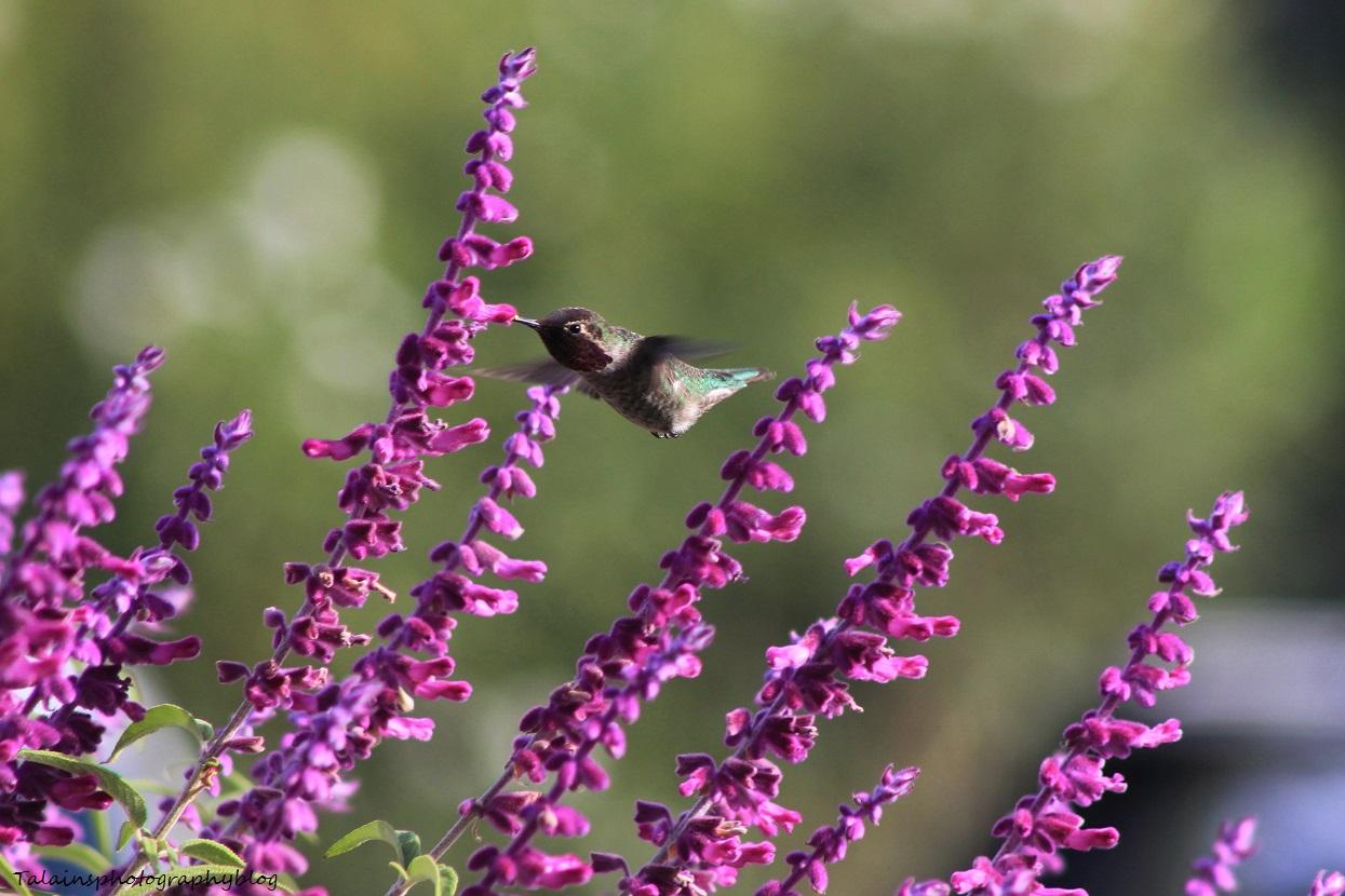 anna's hummingbird 025