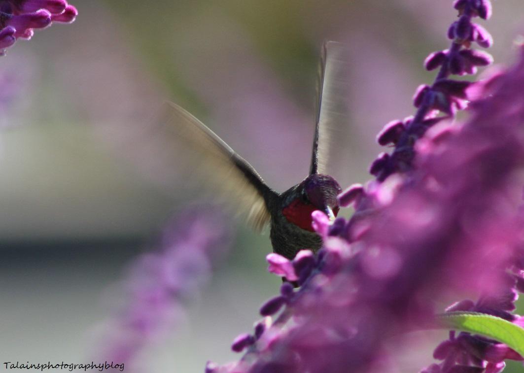 anna's hummingbird 030
