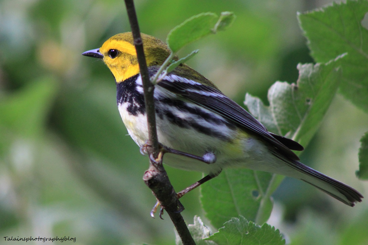 Black-throated Green Warbler 066