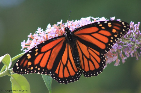 Butterfly 068