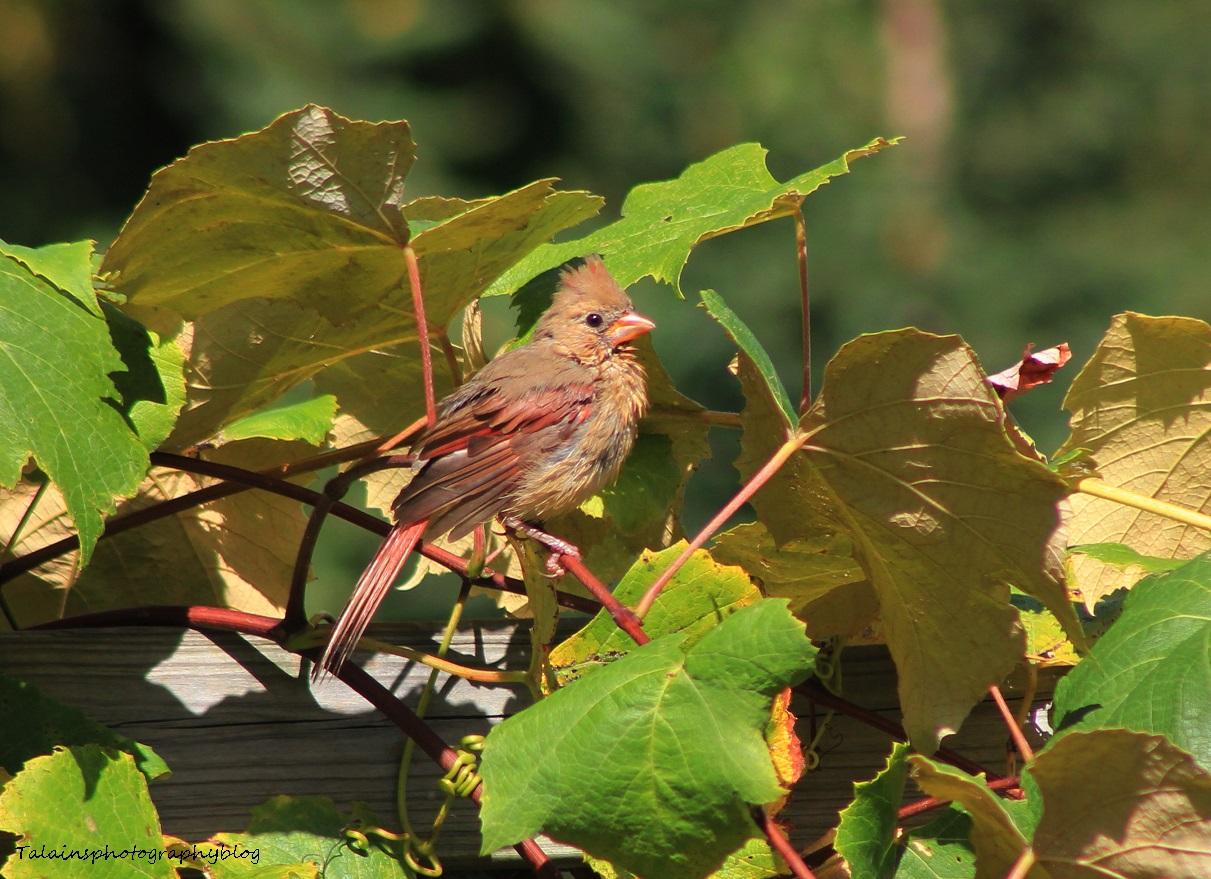 Cardinal 046