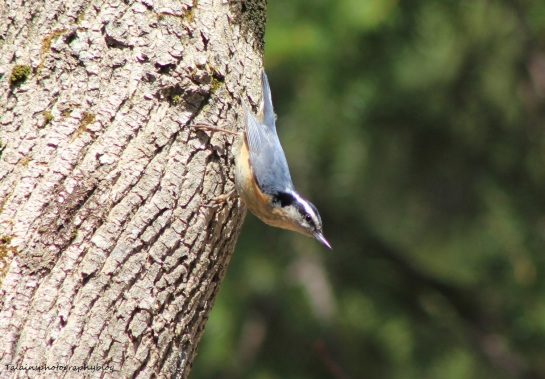 Red-breasted Nuthatch 01